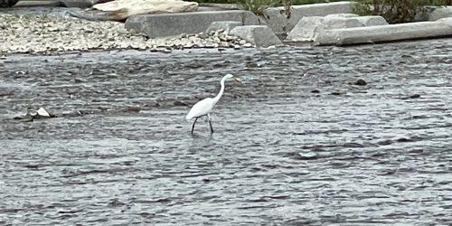 川の上にいる白鷺